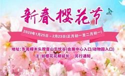 鼠你好看 广东观音山樱花节春节开启