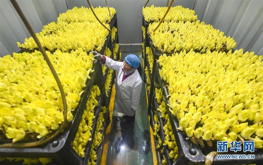 河北霸州:菊苣订单生产忙