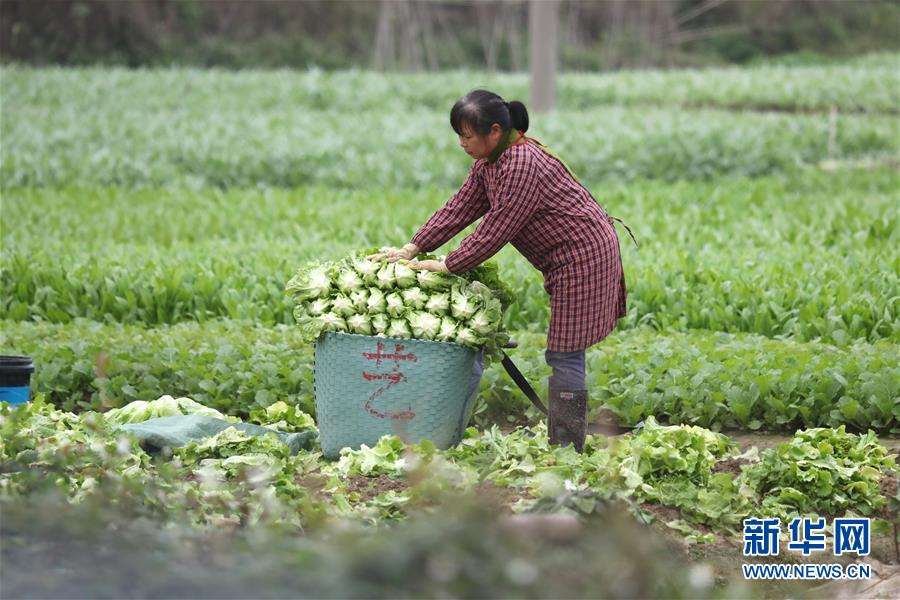 """管好蔬菜地 守护""""菜篮子""""保障蔬菜供应足"""