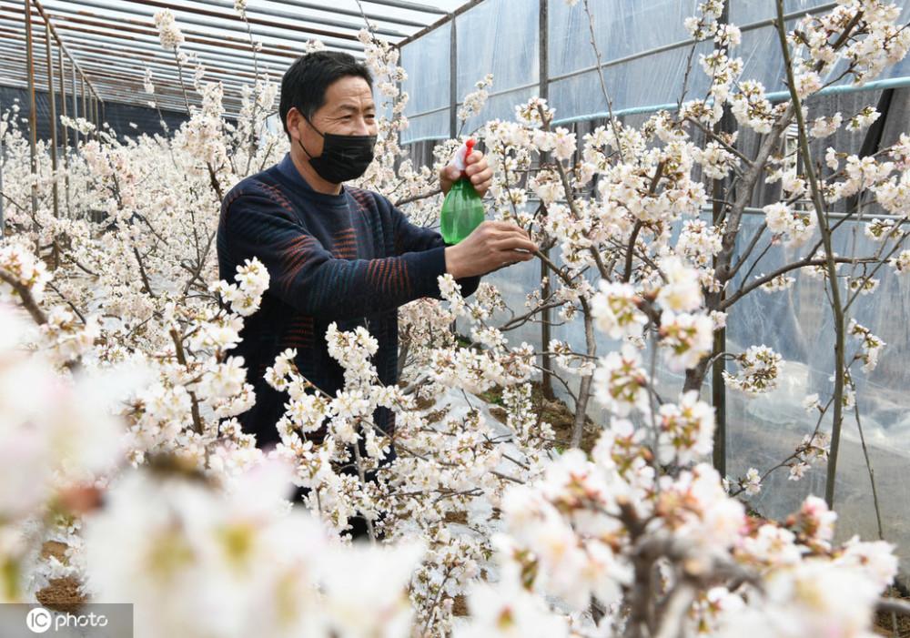 科技大棚樱桃花盛开 果农抢抓农时为花授粉