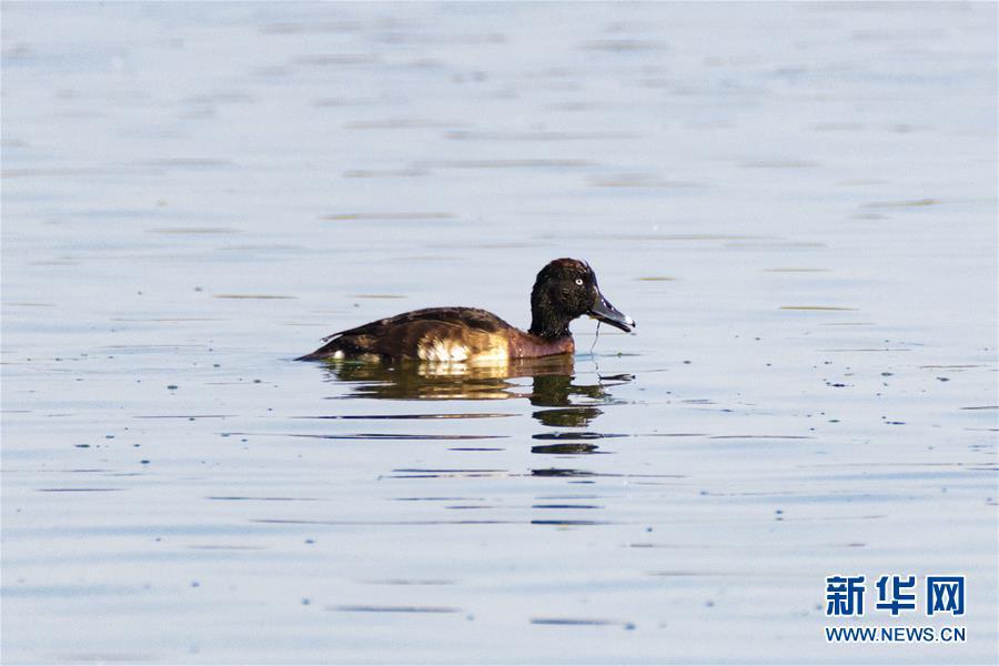 全球极度濒危物种青头潜鸭现身云南保山