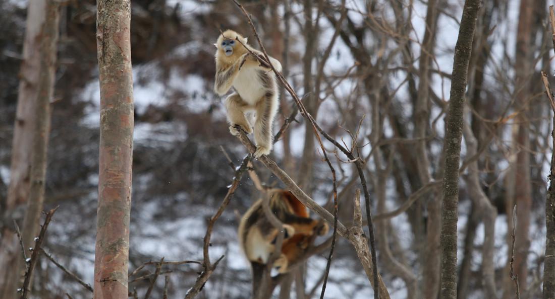 栖息在神农架的金丝猴