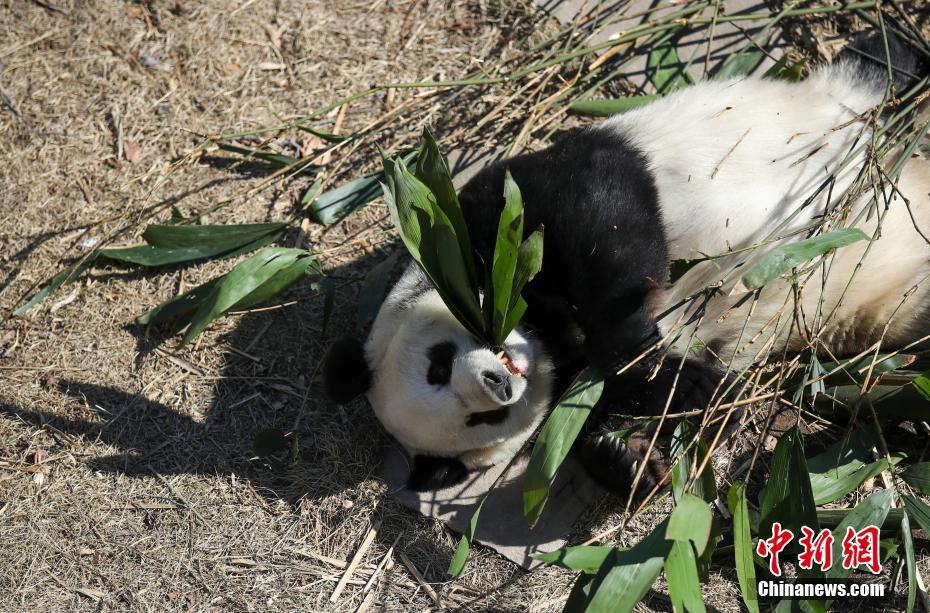 大熊猫吃竹子晒太阳 萌态十足