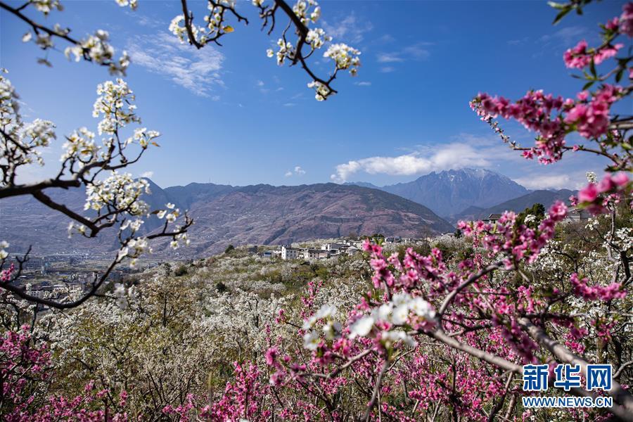 四川汉源:20万亩梨花似雪绽放风景美如画