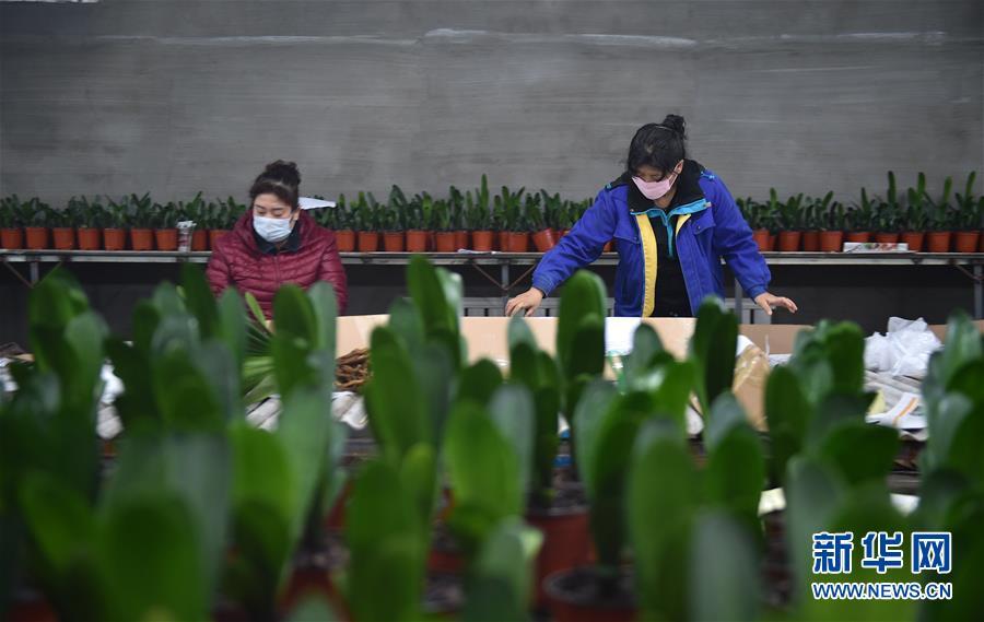 吉林省图们市:君子兰产业促农户脱贫增收