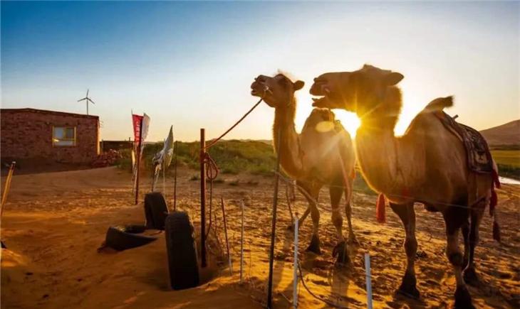 """新疆阿勒泰:""""沙漠之舟""""成牧民增收好帮手"""
