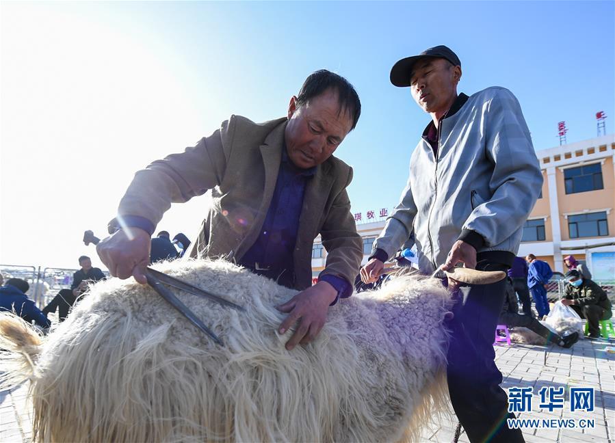 鄂尔多斯:剪羊毛 梳羊绒