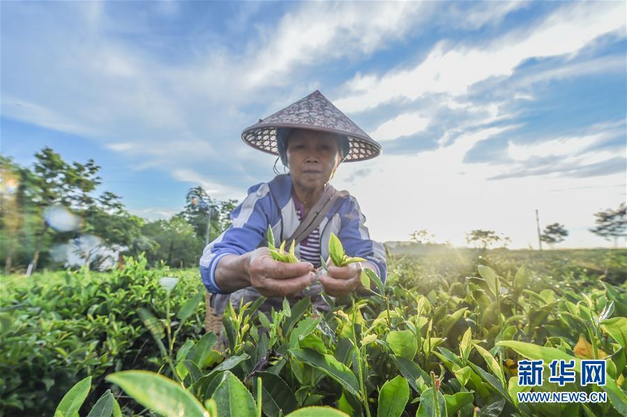 海南:黎乡茶叶助脱贫