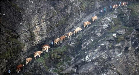 瑞士奶牛紧贴崖壁行走