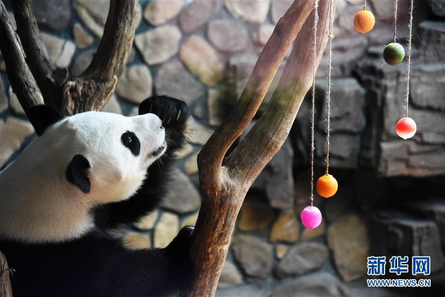 济南:大熊猫享清凉