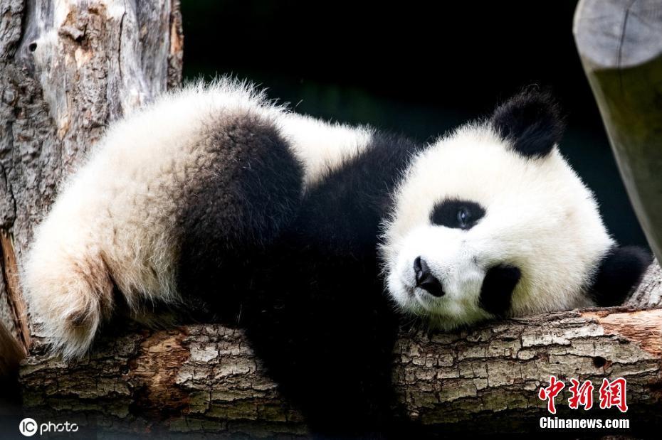柏林大熊猫双胞胎与游客见面 不是趴着就是躺着