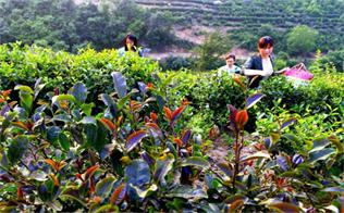 湖北随县:红色领航全域旅游 彩茶激活绿色产业