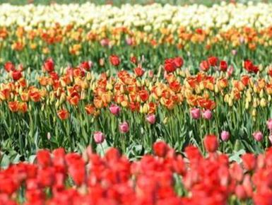 荷兰郁金香公园71年首次不开放 美景线上展示