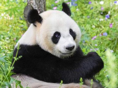 """旅居荷兰的大熊猫""""武雯""""顺利产下首只幼崽"""