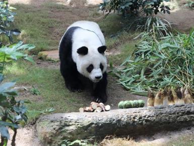 香港大熊猫,是否依然安好?