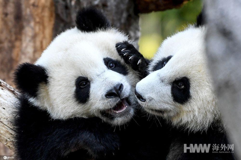快1岁啦! 德国动物园大熊猫双胞胎嬉戏打闹萌化人心