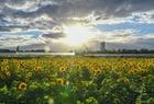 法蘭克福:向日葵盛開