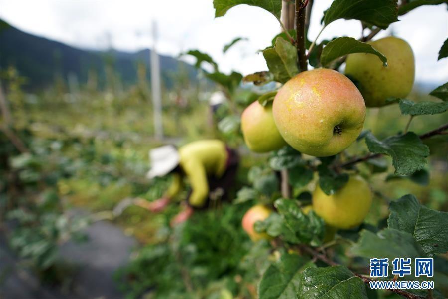苹果红了,群众笑了——西藏林芝现代苹果标准化示范园见闻