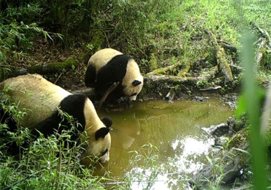 雅安宝兴:野生大熊猫母子出镜