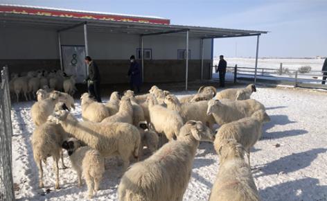 【决胜2020】宁夏盐池:一只小羊撬动扶贫大产业