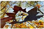树叶雕刻展现精美艺术