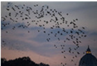 罗马上空椋鸟遮天蔽日