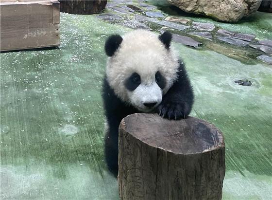 """大明星来了! 大熊猫""""圆宝""""台北动物园亮相""""接客"""""""