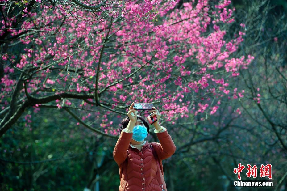 广西南宁樱花盛开 市民戴口罩观赏