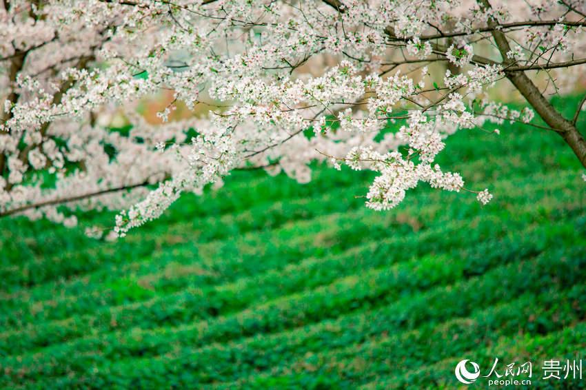 茶园里盛开的樱花。涂敏 摄