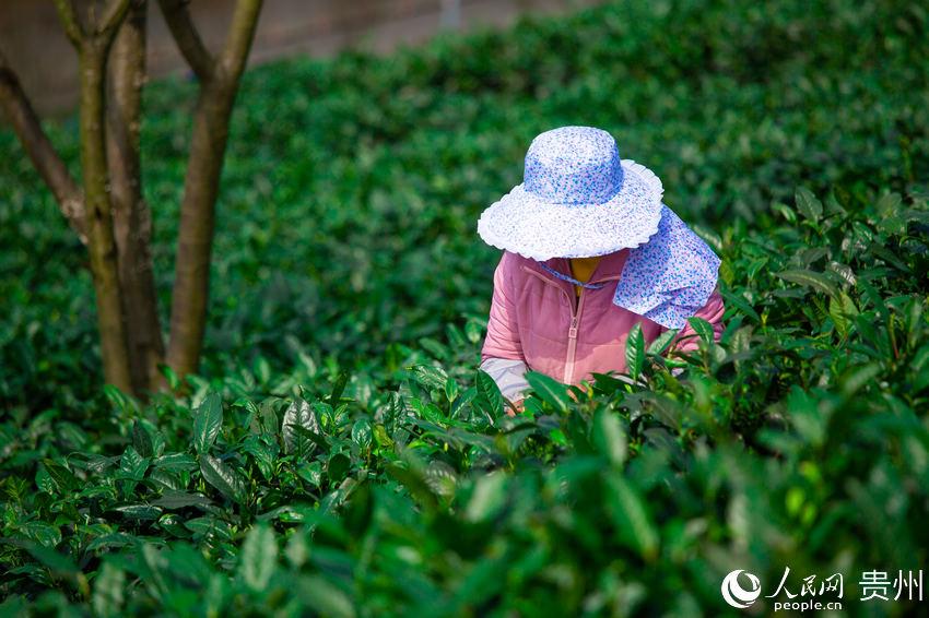 茶农在茶园采摘春茶。涂敏 摄