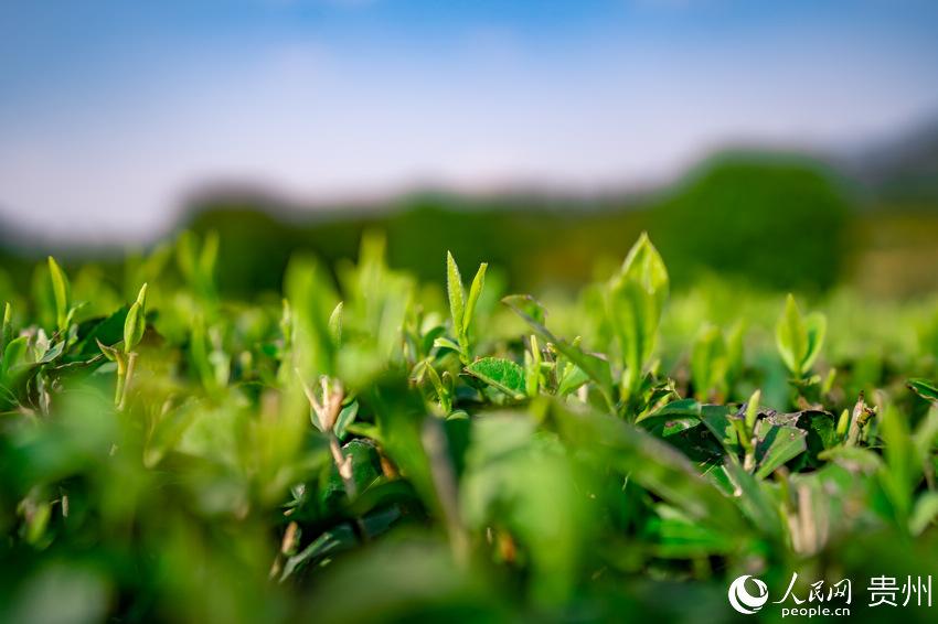 贵州湄潭兴隆镇小茶海茶树冒出嫩芽。涂敏 摄