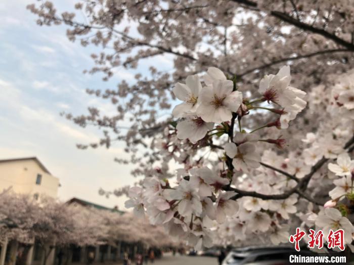 鼋头渚是我国知名的赏樱胜地之一。 孙权 摄