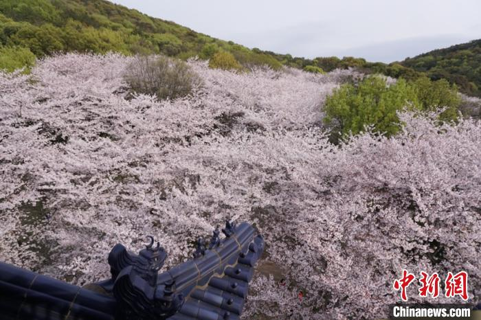 漫山遍野的樱花,宛如花海一般。 孙权 摄
