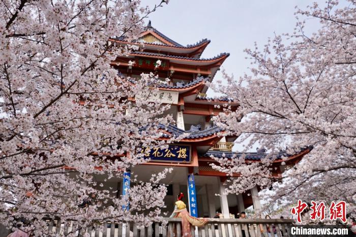 """赏樱阁依旧是赏樱花的""""关键点""""。 孙权 摄"""