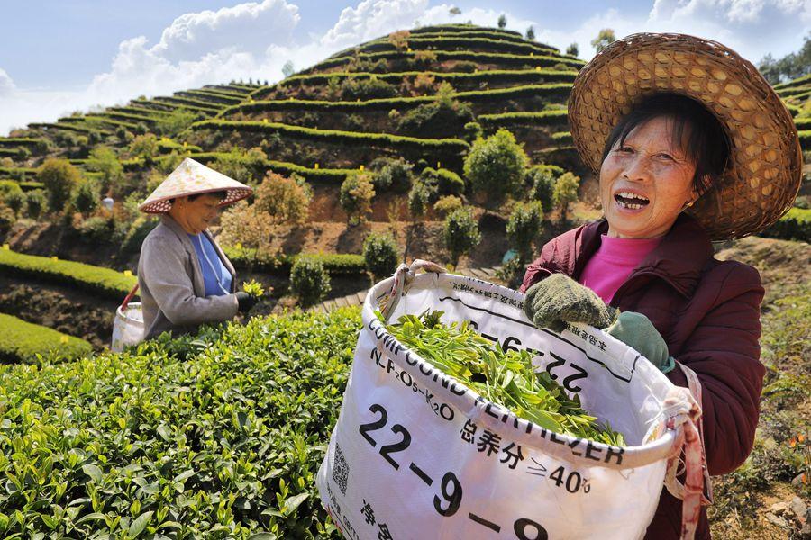 周宁县玛坑乡首章村智慧有机茶园,茶农在采摘春茶 黄起青 摄