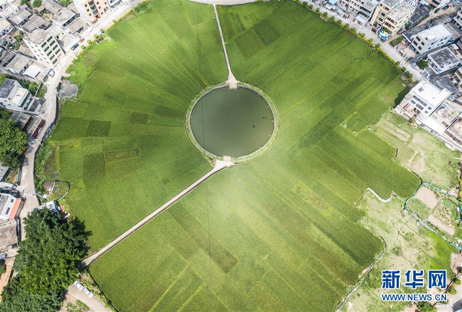 (经济)(1)海口:稻田飘香 丰收在望