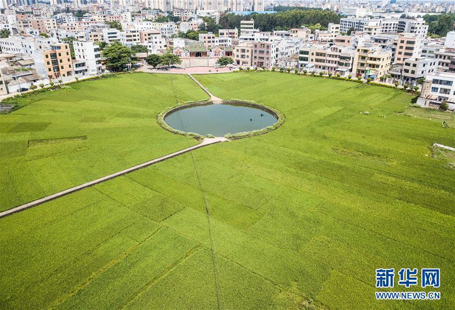 (经济)(2)海口:稻田飘香 丰收在望