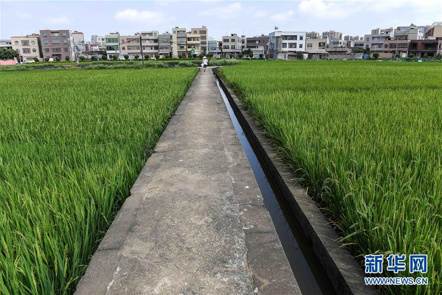 (经济)(4)海口:稻田飘香 丰收在望