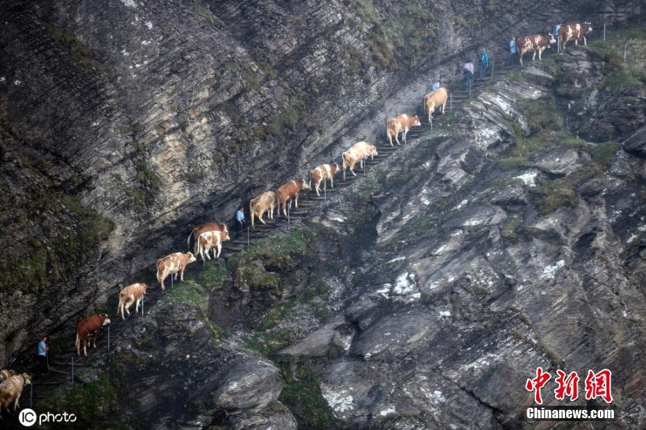瑞士奶牛成群转场夏季牧场 紧贴崖壁行走