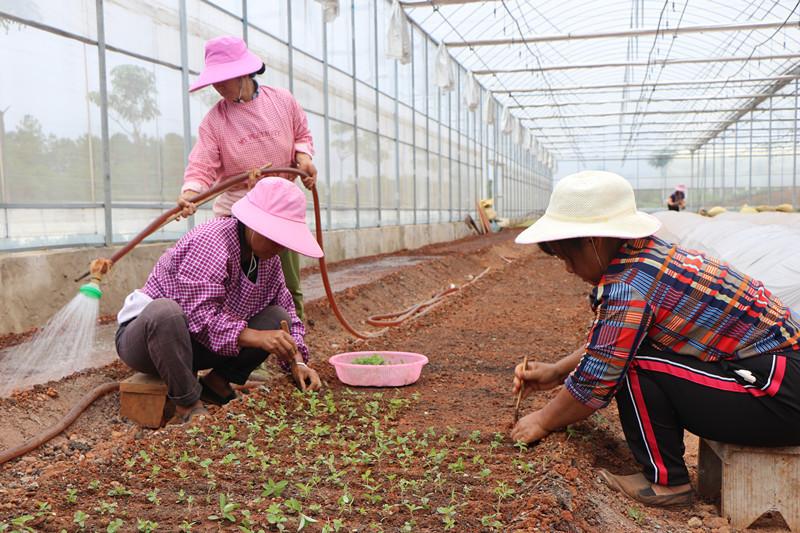 7月3日,在水长乡中药材种植沪滇协作示范园内,胡自焕和工友们对红芽大戟进行第一次移栽.JPG