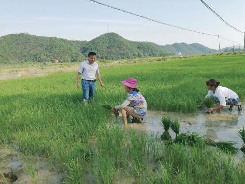 江西农大科技特派团分类指导水稻生产