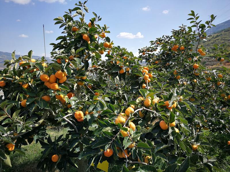 保山甜柿丰收,拍摄于10月15日 。.jpg