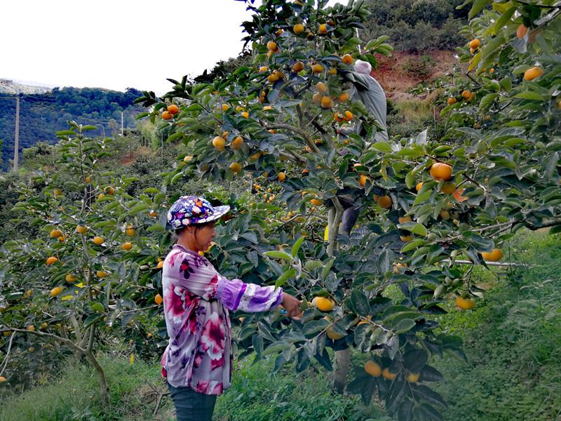 10月15日,保山市隆阳区蒲缥镇的果农在摘柿子.jpg