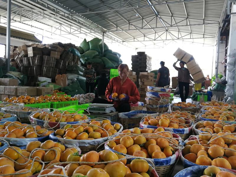 10月15日,隆阳区西山红甜柿种植专业合作里工人在分选甜柿。 (1).jpg