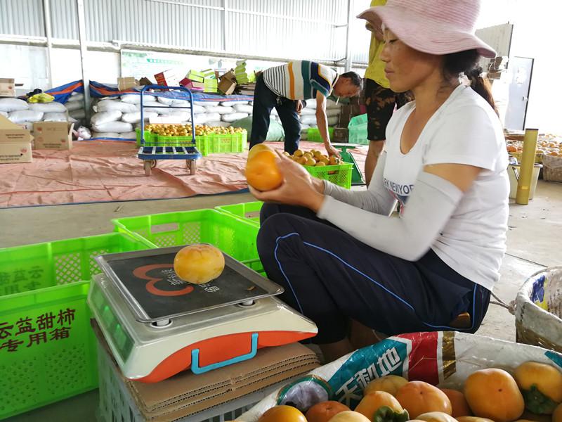 10月15日,隆阳区西山红甜柿种植专业合作里工人在分选甜柿。 (2).jpg