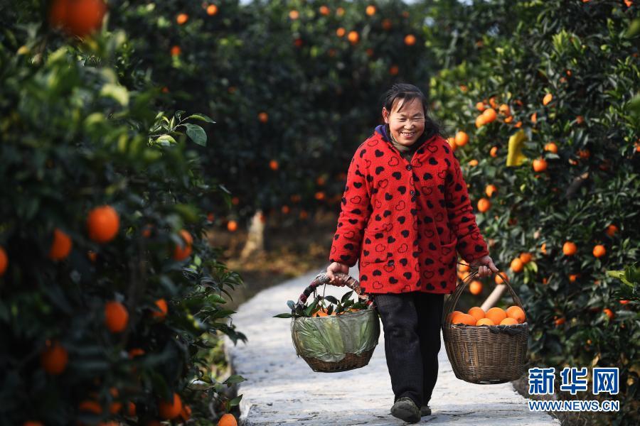 重庆奉节脐橙丰收上市