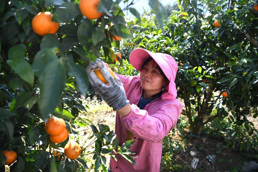 广西河池:沃柑成熟上市