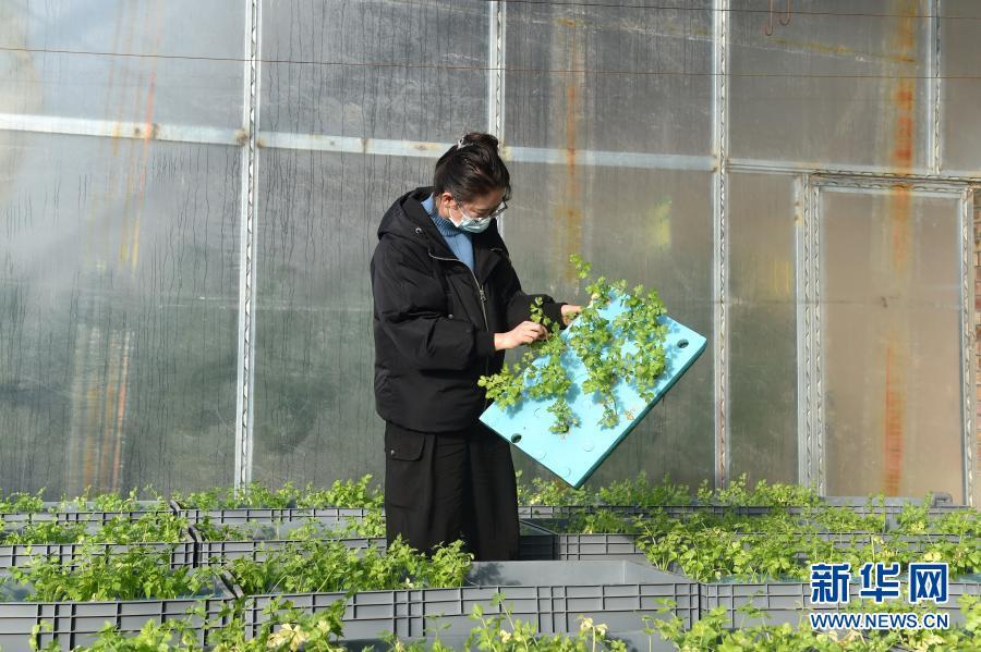 """宁夏固原:探索""""鱼菜共生""""农业新模式"""