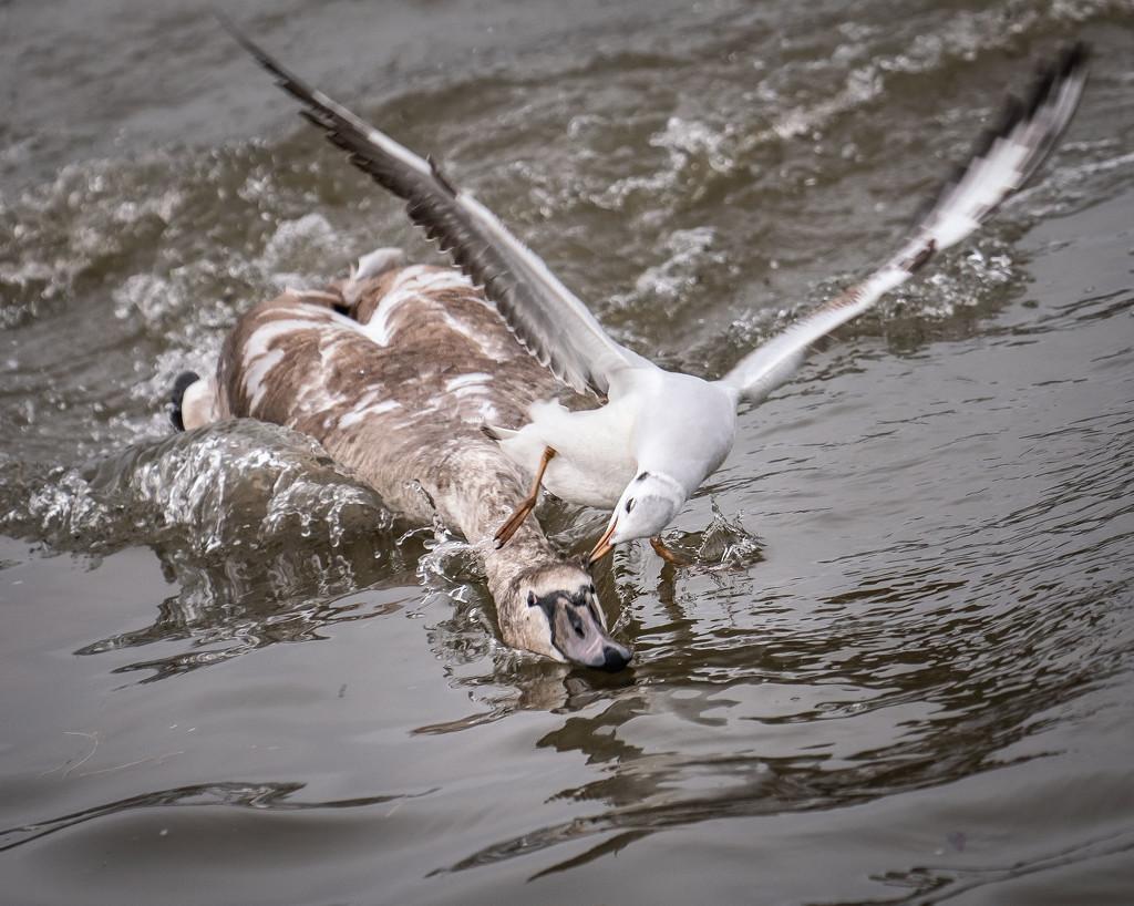 刺激!实拍海鸥空中突袭水上天鹅