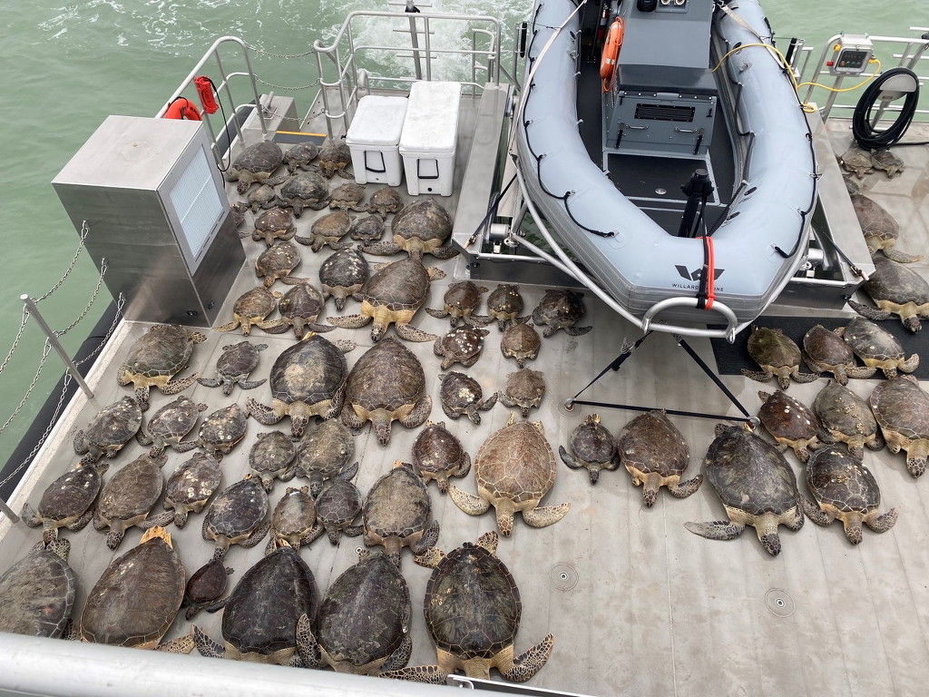 美国遭遇极寒天气 大量海龟被冻僵